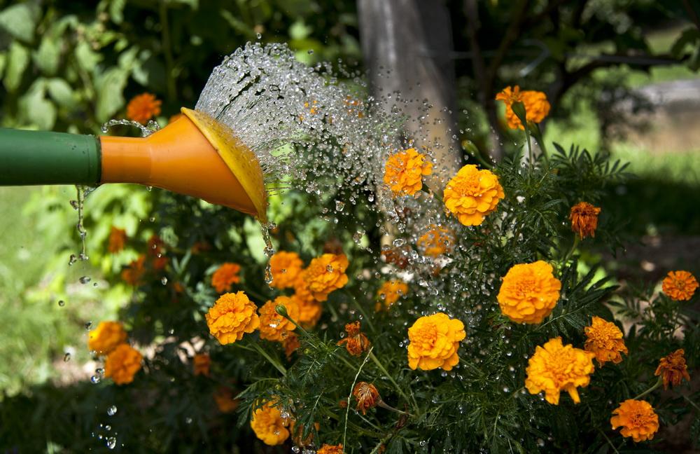 Slika prikazuje zalivanje cvetja z zalivalko.